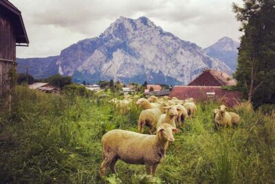 Bio Lamm Keule ausgelöst vom Biohof Gnigler aus Ruteznmoss